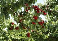 Under the Cherry Tree by Carol Groenen
