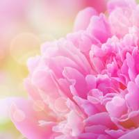 Pink Dream - Peony Art Prints & Posters by Joan Han