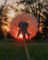 Sunset Dandelion (portrait)
