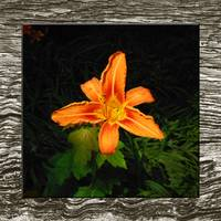 Flower-Asiatic Lily