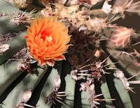 BARREL CACTUS FOWER