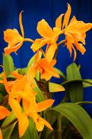 yellow-orange Orchids with Blue Wall