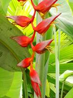 Heliconia and palms 2
