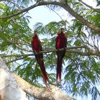 Scarlet Macaws in Costa Rica - View 1