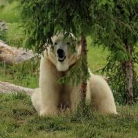 Polar Bear Peek-A-Boo by Karen Adams