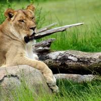 Lion Queen by Karen Adams