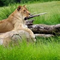 Queen Lion by Karen Adams
