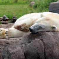 Sleeping Polar Bear by Karen Adams