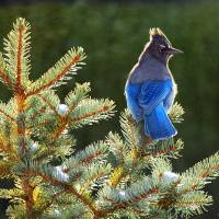 """""""stellar jay on spruce"""" by rchristophervest"""