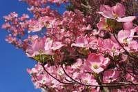 Springtime Trees Blossoming Pink Dogwood Flowers