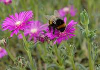 Bee On Trailing Iceplant