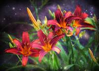 Magical Evening Daylilies by Carol Groenen