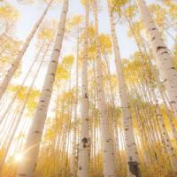 Aspen tree woods in sunlight Colorado Art Prints & Posters by Art Licensing