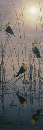 Red Winged And Yellow Headed Blackbirds I