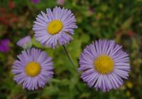 Three Olympic Mountain Fleabane Flowers