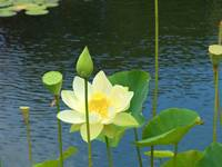 Water Lily in a pond.