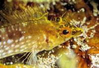 Minute Yellow Goby