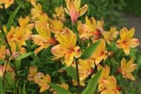 Peruvian Lily Flowers