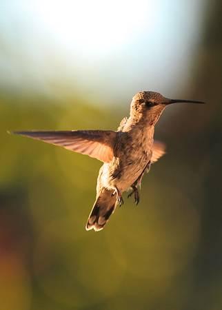 Hummingbird Bokeh