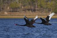 Black Swans in flight, Mareeba Wetlands, Queenslan