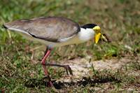 The bizarre Masked plover, Cairns, Queensland, Aus