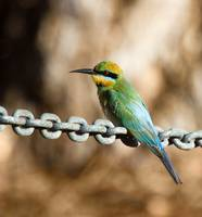 Rainbow Bee Eater by Curlew copy