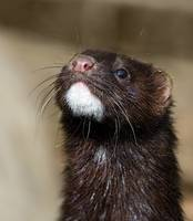 American Mink in England