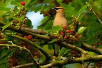 Cedar Waxwing In Tree With Berries