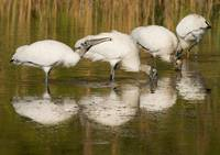 Four Wood Storks Foraging