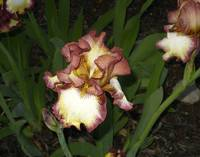Iris at Night C2465