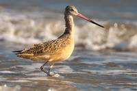 Marbled Godwit at The Beach