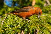 Red Crossbill in Pine Tree with Cones