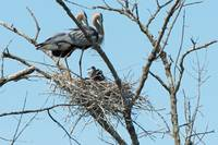 Great Blue Heron Adults with Young on Nest