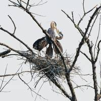 Great Blue Heron Adult Feeding Young