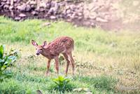 Whitetail Deer-Little One (4)
