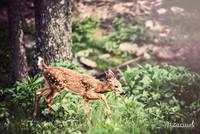 Whitetail Deer-Little One (1)