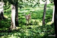 Whitetail Deer-I See You