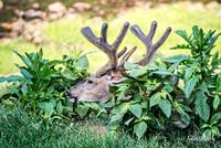 Whitetail Deer-Get Some Rest (2)