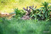 Whitetail Deer-Get Some Rest (1)