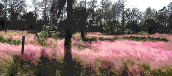 Red Fire Grass Field Gulf Coast Florida