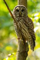 Barred Owl on Dead Tree Limb