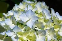 Pastel Blue Yellow White Hydrangea Flower Petals