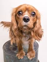 King Charles Spaniel Puppy Dog