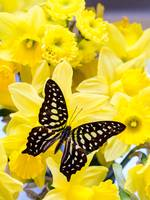 butterfly_on_yellow_daffodills