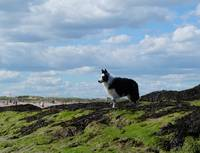 Sheepdog Ready on Rocks