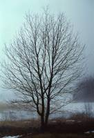 Solitary Maple in Winter