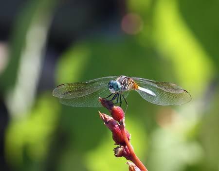 DragonflyCCAAf