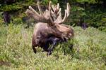 """There's A Moose Loose by James """"BO"""" Insogna"""
