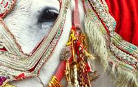 Decorated White Horse for Indian Wedding