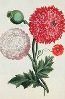 Papaver somniferum and Papaver rheas